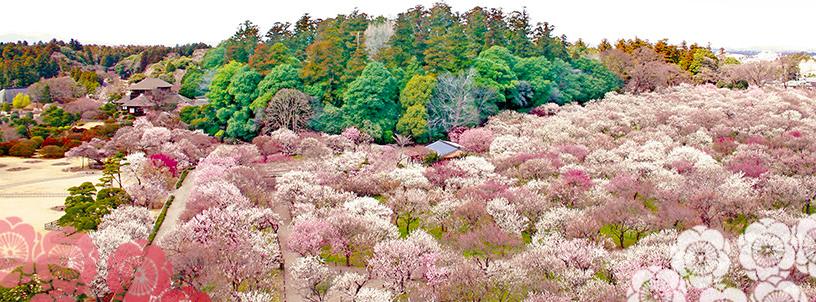 水戸偕楽園の梅祭り!開催スケジュールや開花の見頃時期